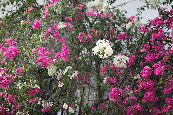 Những giàn hoa giấy khiến Hà Nội trở nên thơ hơn - 4