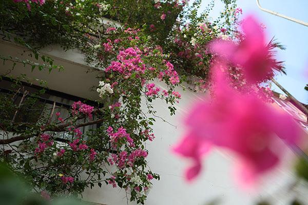 Những giàn hoa giấy khiến Hà Nội trở nên thơ hơn - 5