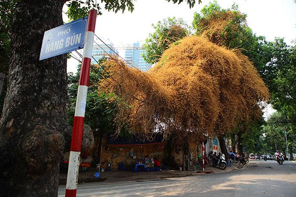 Những giàn hoa giấy khiến Hà Nội trở nên thơ hơn - 10