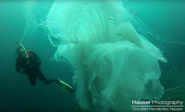 Thợ lặn gặp sứa khổng lồ to hơn người cực hiếm - 1