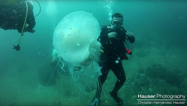 Thợ lặn gặp sứa khổng lồ to hơn người cực hiếm - 2