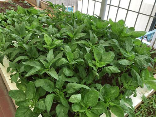 Vườn rau 50m2 ăn không xuể của bà mẹ Hà thành - 4
