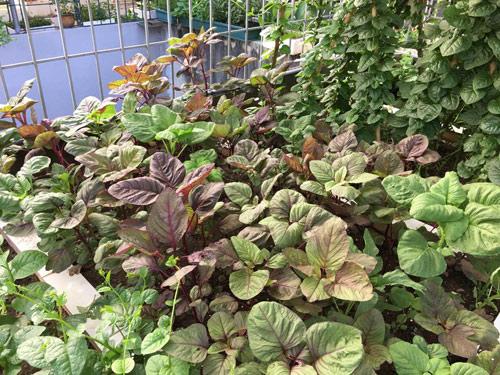 Vườn rau 50m2 ăn không xuể của bà mẹ Hà thành - 12