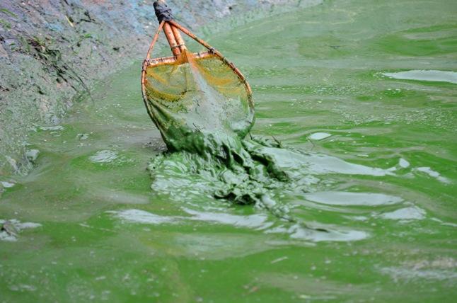 HN: Nước hồ Văn Quán đổi màu xanh biếc, hôi thối nồng nặc - 2