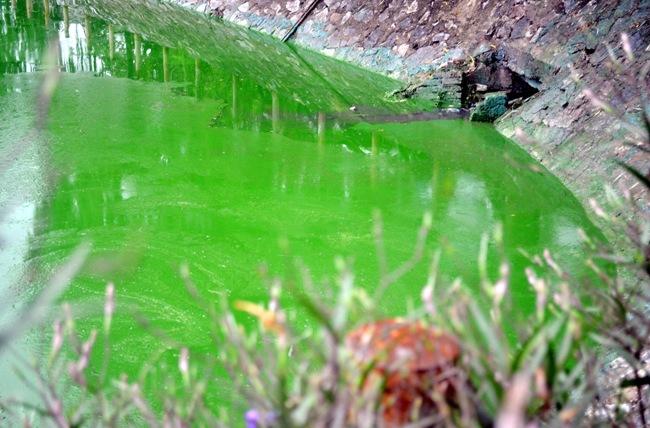 HN: Nước hồ Văn Quán đổi màu xanh biếc, hôi thối nồng nặc - 7