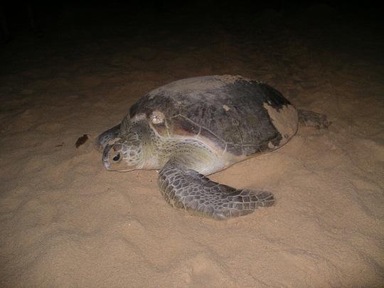 Mắc đẻ nhưng nhiều người xem, rùa nín đẻ trở lại biển - 1
