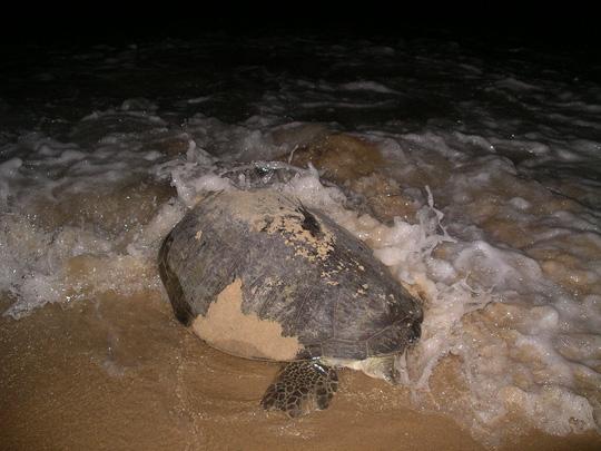Mắc đẻ nhưng nhiều người xem, rùa nín đẻ trở lại biển - 4