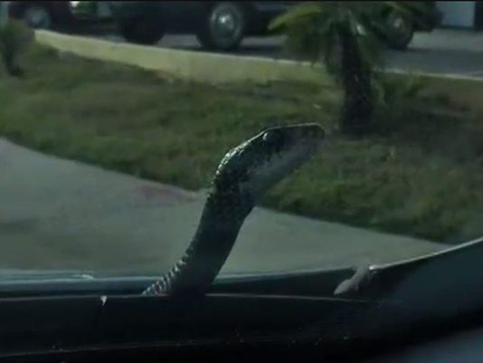 Mỹ: Hết hồn thấy rắn luồn dưới chân khi đang lái xe - 3