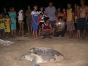 Tin tức trong ngày - Mắc đẻ nhưng nhiều người xem, rùa nín đẻ trở lại biển
