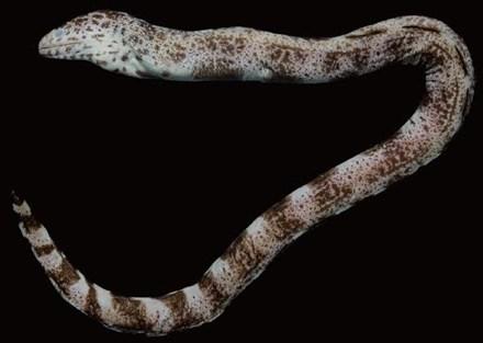 Lạ kỳ loài cá phương bắc bỗng xuất hiện ở Nha Trang - 1