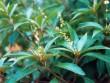Khổ sâm – Cây thuốc của núi rừng tốt cho người viêm hang vị