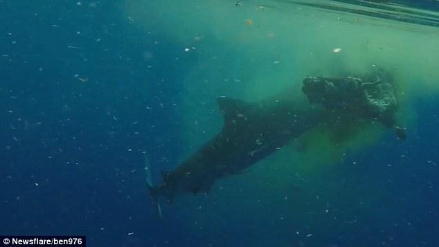 Video: Cá mập hổ dài 5 mét xé xác bò ở Ấn Độ Dương - 1