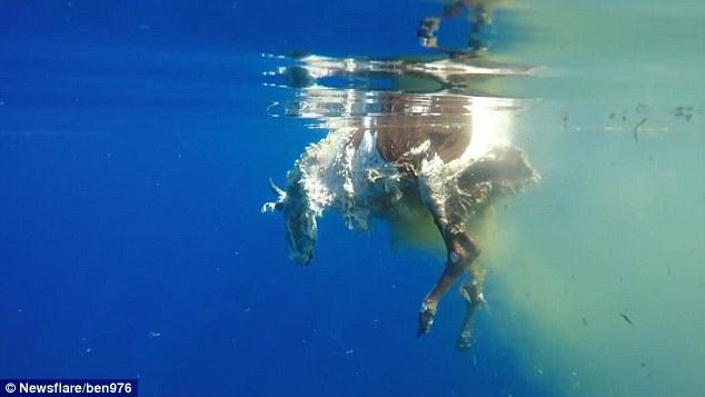 Video: Cá mập hổ dài 5 mét xé xác bò ở Ấn Độ Dương - 2