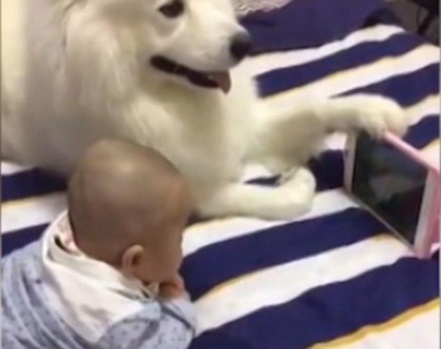 Chó ung dung cầm điện thoại cho bé sơ sinh xem hoạt hình - 1