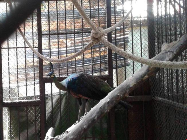 Thảo cầm viên Sài Gòn chờ người nhận lại chim công quý - 1