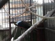Thảo cầm viên Sài Gòn chờ người nhận lại chim công quý
