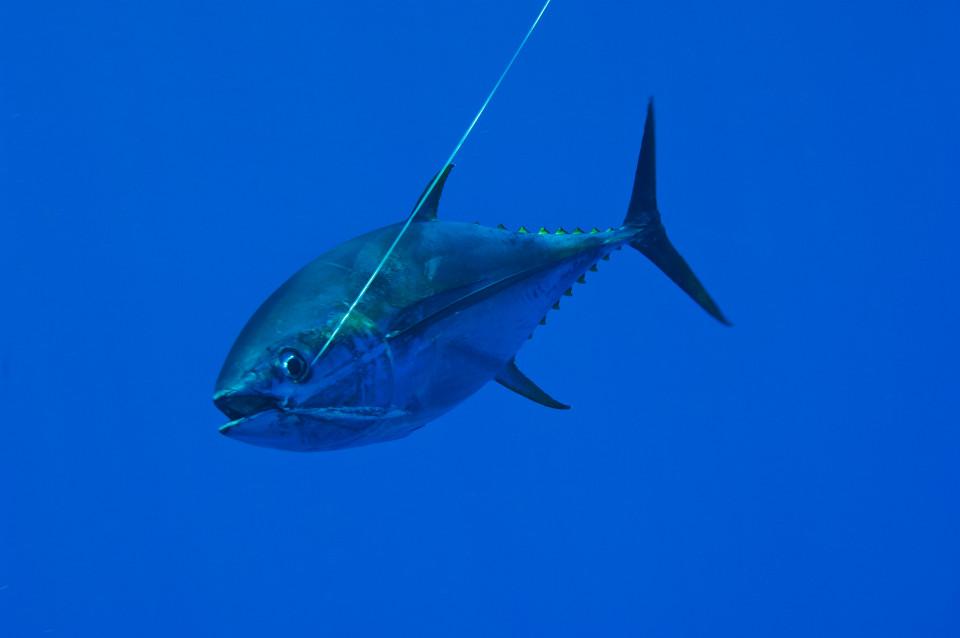 Anh: Bắt được cá ngừ vây xanh khổng lồ 270 triệu đồng - 2