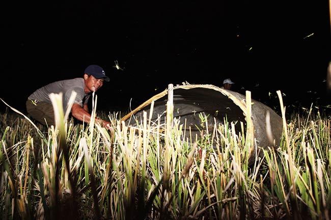 Châu chấu là loài động vật có hại cho mùa màng, chuyên cắn phá cây lúa thế nhưng cũng là món đặc sản thơm ngon được nhiều dân nhậu ưa thích.