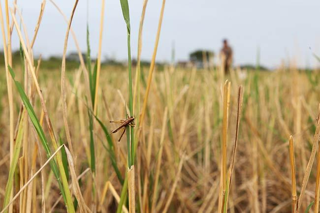"""Cứ sau mỗi mùa gặt vào khoảng tháng 4 và tháng 9 âm lịch, nhiều nông dân vùng ngoại thành Hà Nội lại rủ nhau ra đồng săn món đặc sản  """" tôm bay """"  này."""