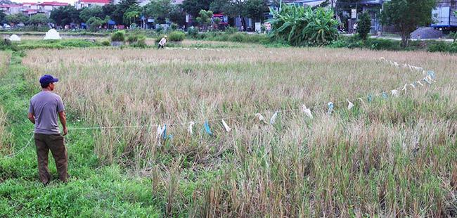 """Dùng dây thừng dài có buộc theo túi nilon, hai người cùng căng dây đi dọc ruộng lúa để  """" lùa """"  châu chấu về chung một khoảnh ruộng."""