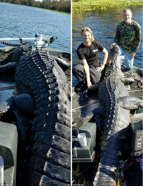 Bắt được cá sấu khổng lồ dài 4m ở Mỹ - 3