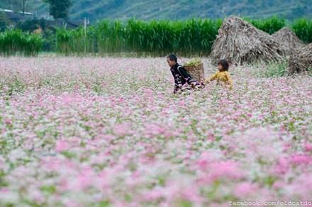 Hà Giang hút 226.000 khách đến ngắm hoa tam giác mạch - 1