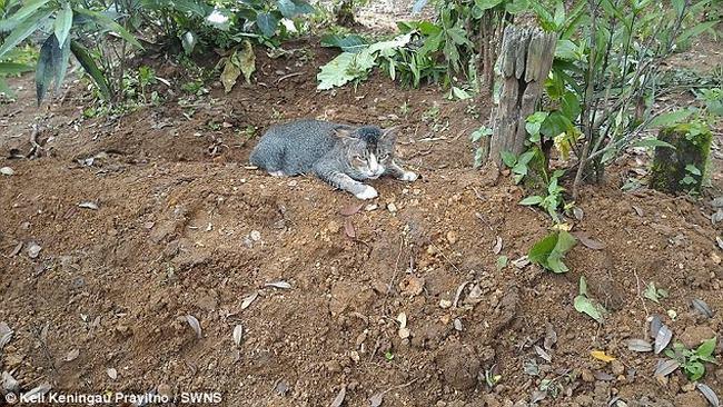 Mèo cả năm nằm trông mộ chủ suốt ngày đêm ở Indonesia - 2