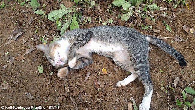 Mèo cả năm nằm trông mộ chủ suốt ngày đêm ở Indonesia - 3