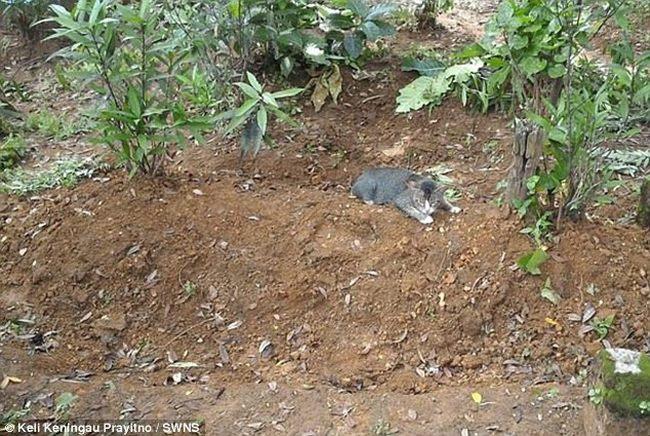 Mèo cả năm nằm trông mộ chủ suốt ngày đêm ở Indonesia - 4