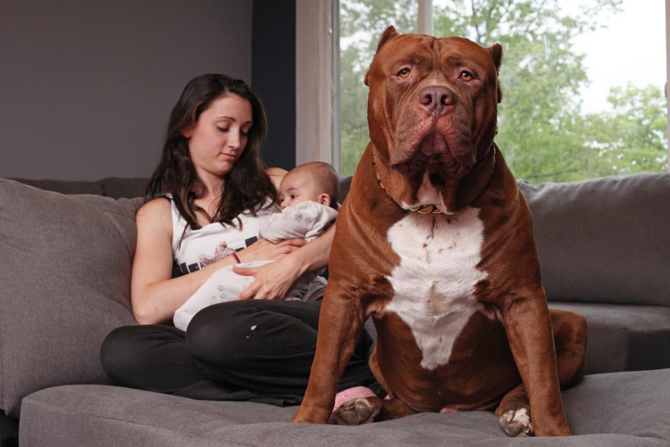 Cặp vợ chồng trẻ để chó pitbull 76kg trông con 3 tháng tuổi - 3
