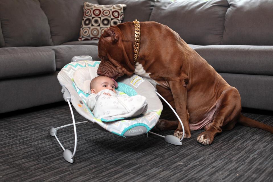 Cặp vợ chồng trẻ để chó pitbull 76kg trông con 3 tháng tuổi - 2