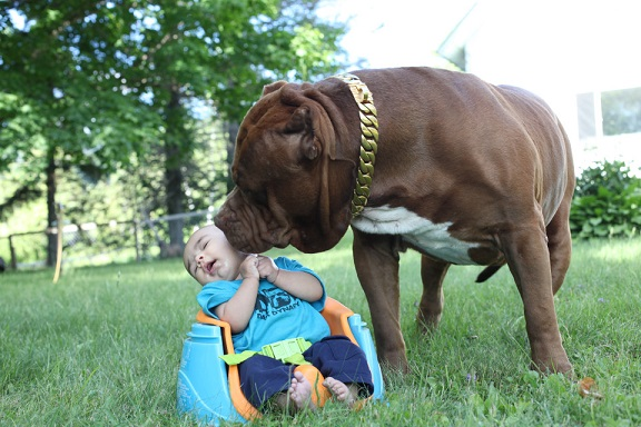Cặp vợ chồng trẻ để chó pitbull 76kg trông con 3 tháng tuổi - 4