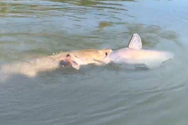 """Video: Cá trê """"khủng"""" tham ăn, gang mồm nuốt đồng loại - 1"""