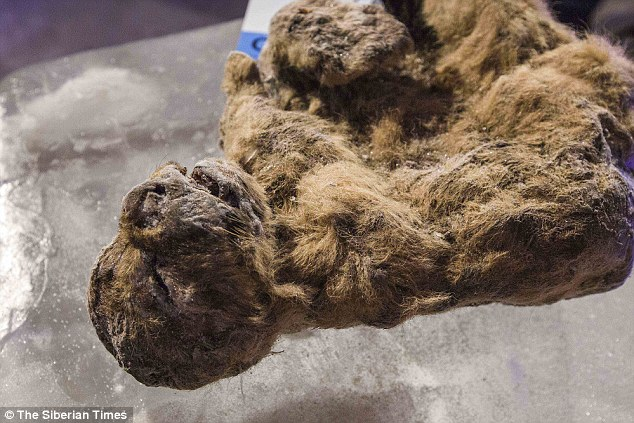Xác ướp sư tử con nguyên vẹn hơn 3 vạn năm ở Siberia - 2