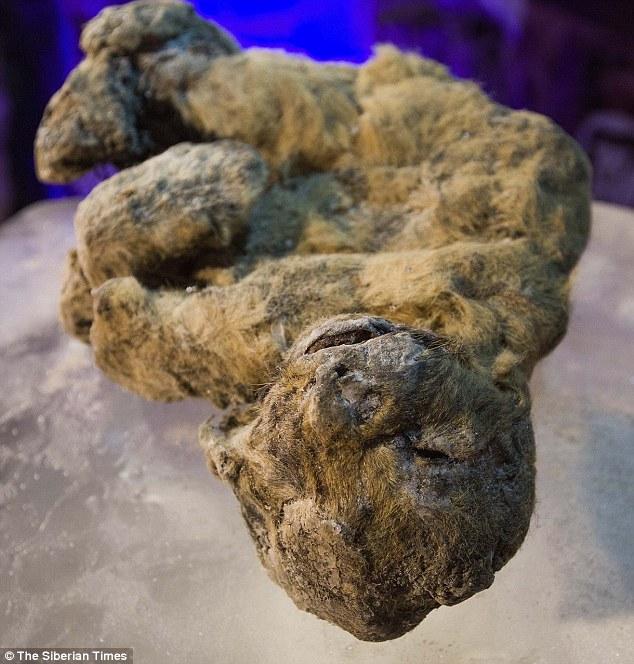 Xác ướp sư tử con nguyên vẹn hơn 3 vạn năm ở Siberia - 3