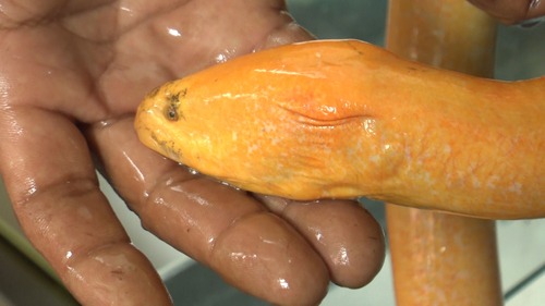 Nông dân miền Tây bắt được lươn vàng, 50 triệu chưa bán - 3