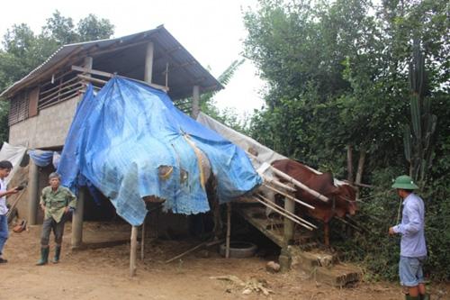 """Xem """"nhà lầu"""" tránh lũ cho trâu bò ở Quảng Trị - 2"""