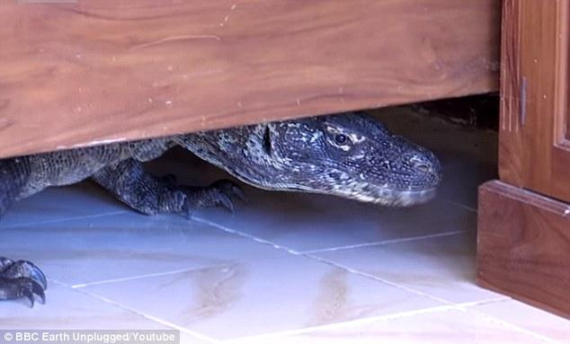 Indonesia: Rồng Komodo khổng lồ ẩn trong phòng khách sạn - 2