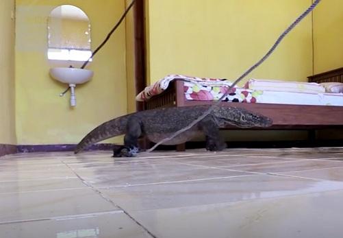 Indonesia: Rồng Komodo khổng lồ ẩn trong phòng khách sạn - 3