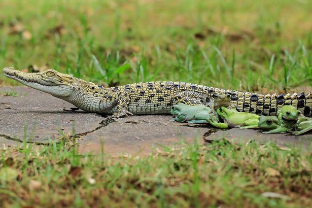 Gia đình ếch táo tợn xếp hàng trên lưng cá sấu để quá giang - 1
