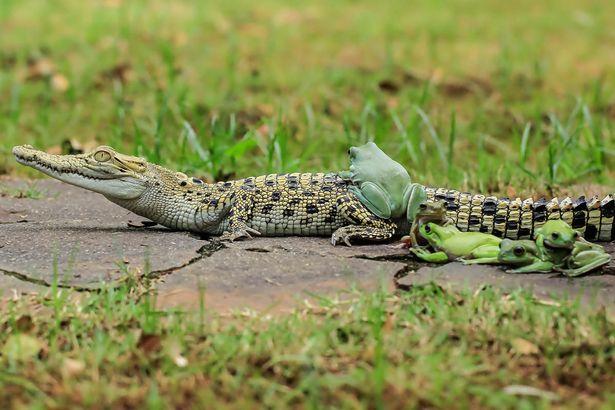 Gia đình ếch táo tợn xếp hàng trên lưng cá sấu để quá giang - 2