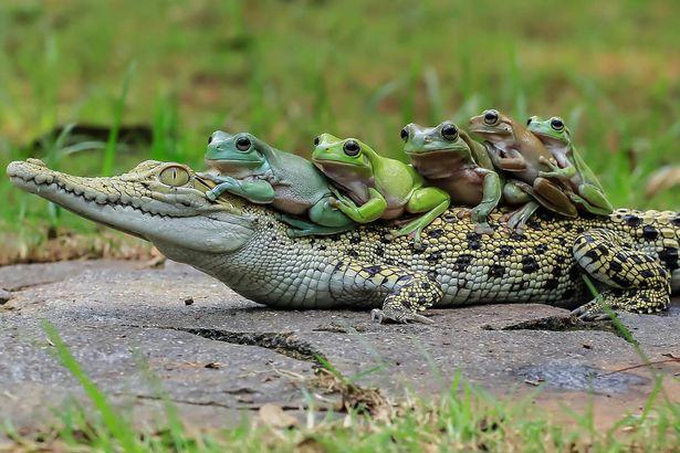 Gia đình ếch táo tợn xếp hàng trên lưng cá sấu để quá giang - 3