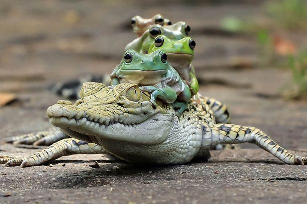 Gia đình ếch táo tợn xếp hàng trên lưng cá sấu để quá giang - 4