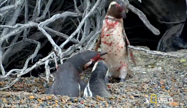 Thấy vợ nằm với bồ, chim cánh cụt tử chiến đẫm máu - 1