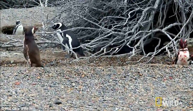Thấy vợ nằm với bồ, chim cánh cụt tử chiến đẫm máu - 2