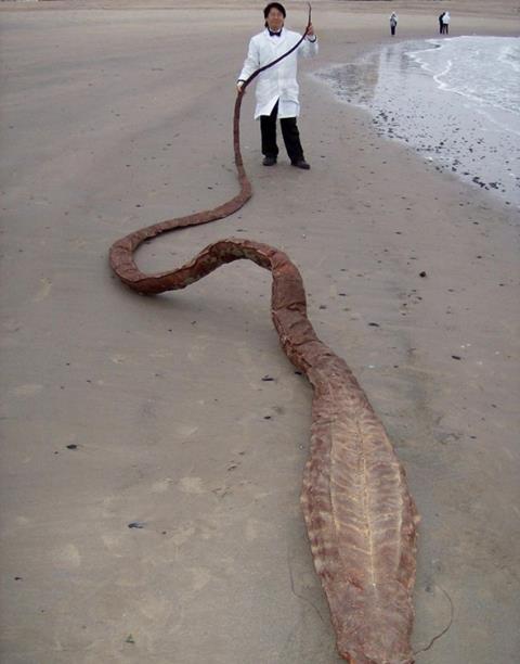 """""""Quái vật biển"""" khổng lồ bí ẩn dạt bờ Nhật Bản - 3"""