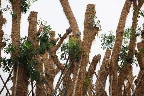 """""""Cụ cây"""" Kim Mã được chăm sóc bằng thảo dược và thuốc quý - 2"""