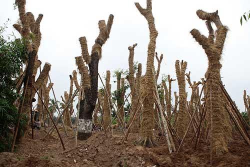 """""""Cụ cây"""" Kim Mã được chăm sóc bằng thảo dược và thuốc quý - 1"""