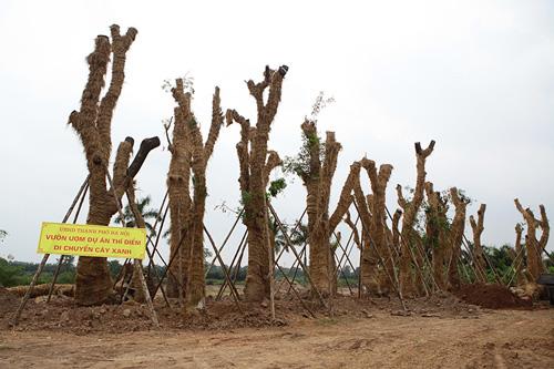 """""""Cụ cây"""" Kim Mã được chăm sóc bằng thảo dược và thuốc quý - 9"""