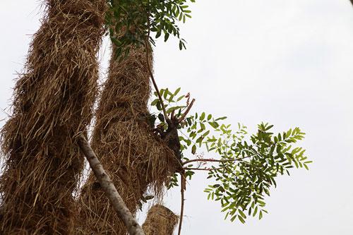 """""""Cụ cây"""" Kim Mã được chăm sóc bằng thảo dược và thuốc quý - 7"""